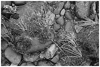 Ground close-up of pebbles and moss on shore of Smith River, Jedediah Smith Redwoods State Park. Redwood National Park ( black and white)