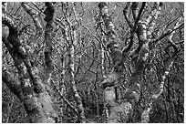 Mossy alder trees. Redwood National Park ( black and white)