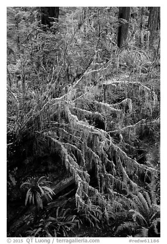 Hanging mosses on tree growing out of giant fallen redwood, Simpson-Reed Grove, Jedediah Smith Redwoods State Park. Redwood National Park (black and white)