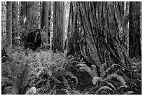 Ferns and giant redwoods, Simpson-Reed Grove, Jedediah Smith Redwoods State Park. Redwood National Park ( black and white)