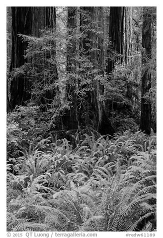 Luxuriant ferns and redwoods, Simpson-Reed Grove, Jedediah Smith Redwoods State Park. Redwood National Park (black and white)