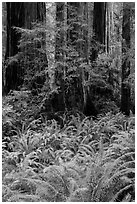 Luxuriant ferns and redwoods, Simpson-Reed Grove, Jedediah Smith Redwoods State Park. Redwood National Park ( black and white)