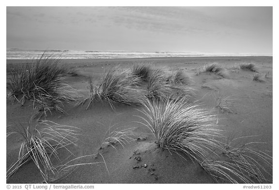 Dune grass, Gold Bluffs Beach, Prairie Creek Redwoods State Park. Redwood National Park (black and white)