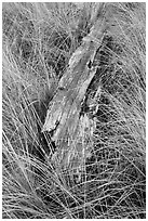 Tall grass and weathered driftwood, Prairie Creek Redwoods State Park. Redwood National Park ( black and white)