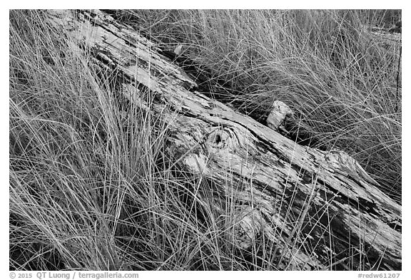 Tall grass and weathered log, Prairie Creek Redwoods State Park. Redwood National Park (black and white)