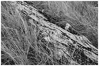 Tall grass and weathered log, Prairie Creek Redwoods State Park. Redwood National Park ( black and white)