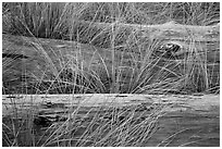 Weathered driftwood logs in tall grass, Prairie Creek Redwoods State Park. Redwood National Park ( black and white)