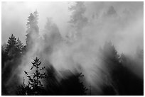 Trees and lifting fog. Redwood National Park ( black and white)