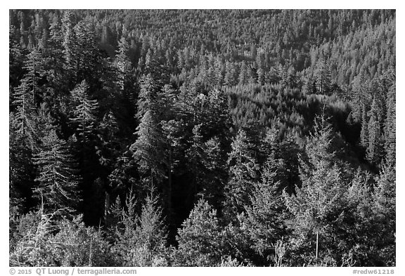Forest on hillside from Redwood Creek Overlook. Redwood National Park (black and white)