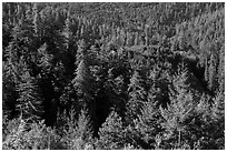 Forest on hillside from Redwood Creek Overlook. Redwood National Park ( black and white)
