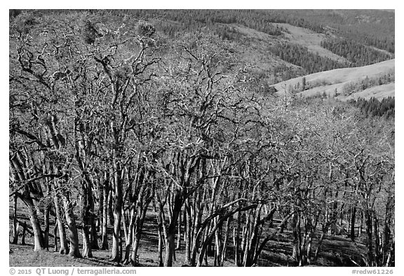 Oak woodland in winter. Redwood National Park (black and white)