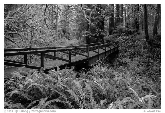 Bridge over Prairie Creek, Prairie Creek Redwoods State Park. Redwood National Park (black and white)