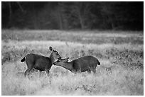 Two young elk interacting, Prairie Creek Redwoods State Park. Redwood National Park ( black and white)