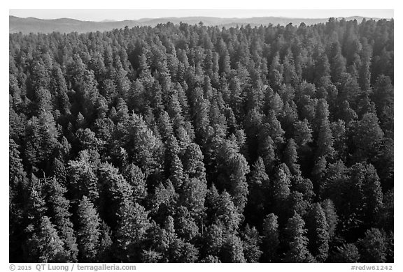 Aerial view of redwood forest. Redwood National Park (black and white)