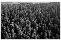 Aerial view of redwood forest. Redwood National Park ( black and white)