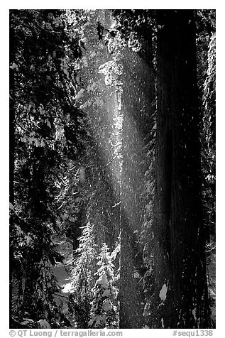 Snow falling from sequoias. Sequoia National Park (black and white)