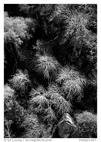 Chaparal on  foothills. Sequoia National Park (black and white)