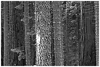 Mosaic of pines, sequoias, and mosses. Sequoia National Park, California, USA. (black and white)