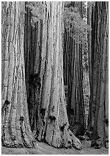 Sequoia (Sequoia giganteum) trunks. Sequoia National Park, California, USA. (black and white)
