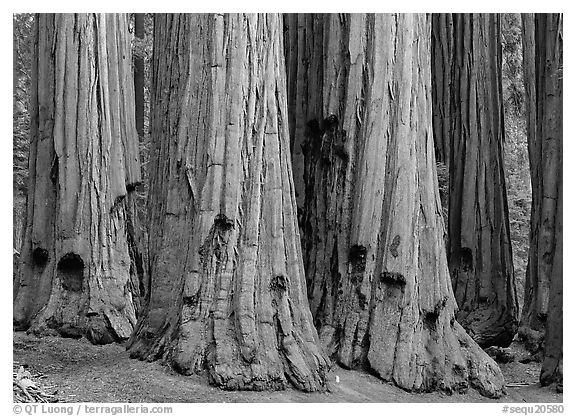 Sequoia truncs. Sequoia National Park (black and white)