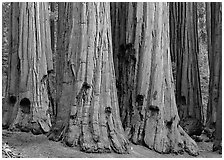 Sequoia (Sequoiadendron giganteum) truncs. Sequoia National Park, California, USA. (black and white)