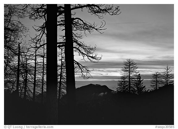 Bare trees in winter and sea of clouds at sunset. Sequoia National Park (black and white)