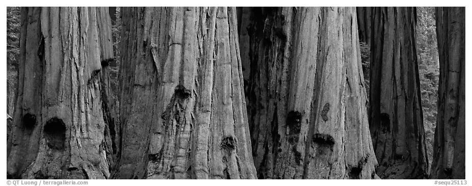 Giant sequoia trunks. Sequoia National Park (black and white)
