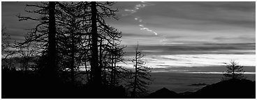 Trees and contrail at sunset. Sequoia National Park (Panoramic black and white)
