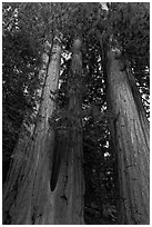 Cluster of giant sequoia trees. Sequoia National Park, California, USA. (black and white)