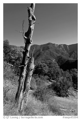 Bird pegged yellow popplar on foothills. Sequoia National Park (black and white)