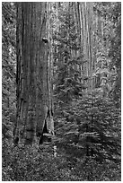Giant Sequoias in the Giant Forest. Sequoia National Park, California, USA. (black and white)