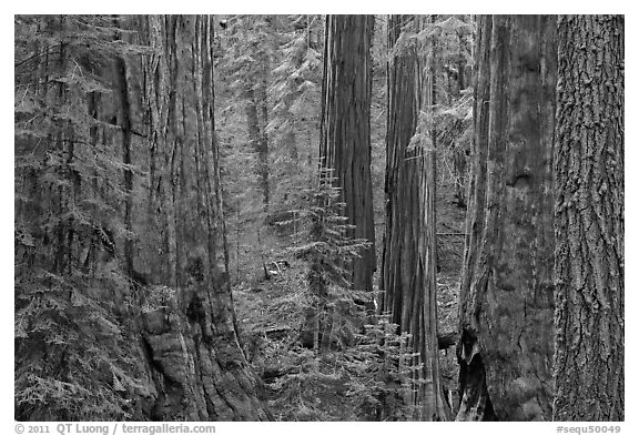 Red bark of Giant Sequoia contrast with green leaves. Sequoia National Park (black and white)