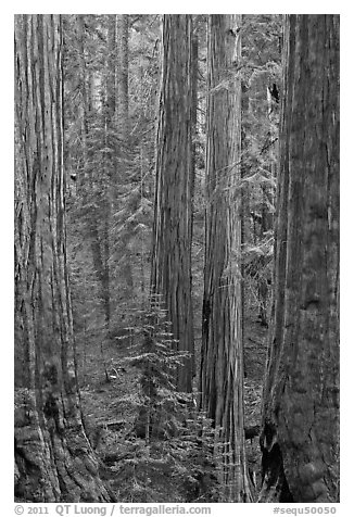 Sequoia forest. Sequoia National Park (black and white)