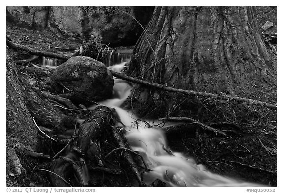 Stream at base of sequoia tree. Sequoia National Park (black and white)