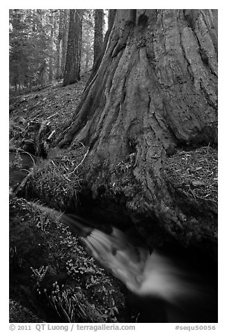 Brook at the base of giant sequoia tree. Sequoia National Park (black and white)