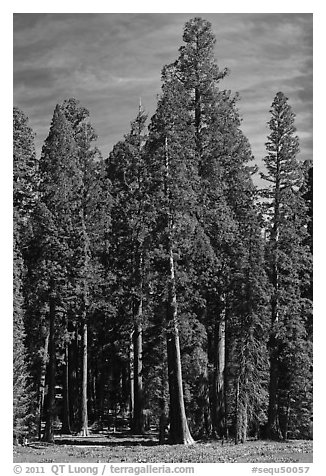 Sequoia trees at the edge of Round Meadow. Sequoia National Park (black and white)