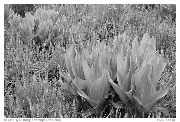 Corn lillies and flowers, Round Meadow. Sequoia National Park (black and white)