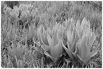 Corn lillies and flowers, Round Meadow. Sequoia National Park, California, USA. (black and white)