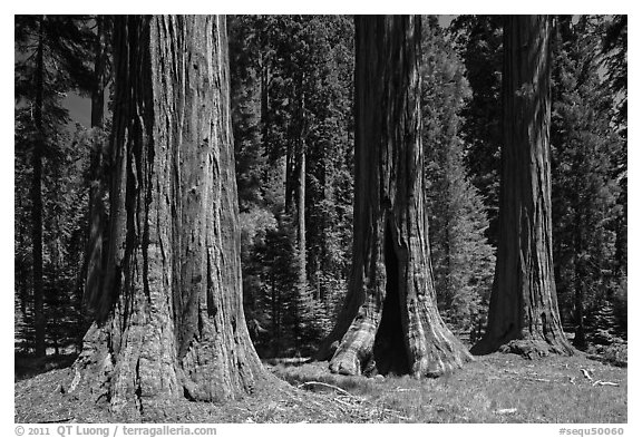 Group of Giant Sequoias, Round Meadow. Sequoia National Park (black and white)