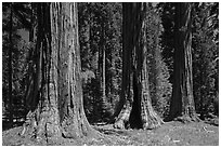 Group of Giant Sequoias, Round Meadow. Sequoia National Park, California, USA. (black and white)