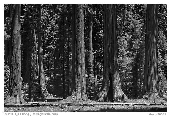 Hiker on boardwalk at the base of Giant Sequoias. Sequoia National Park (black and white)