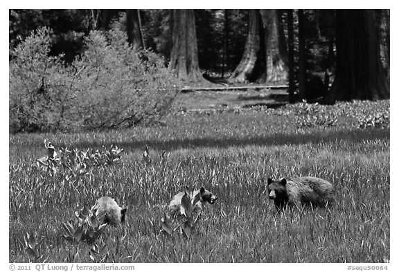 Mother and bear cubs with sequoia trees behind. Sequoia National Park (black and white)