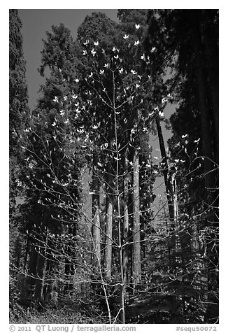 Blooming dogwood and grove of sequoia trees, Hazelwood trail. Sequoia National Park (black and white)