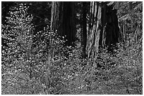 Dogwoods and sequoias. Sequoia National Park, California, USA. (black and white)