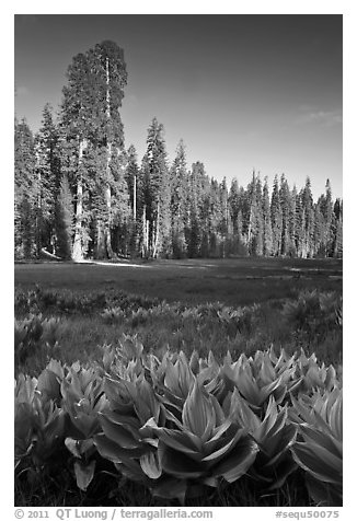 Corn lillies and sequoias in Crescent Meadow. Sequoia National Park (black and white)