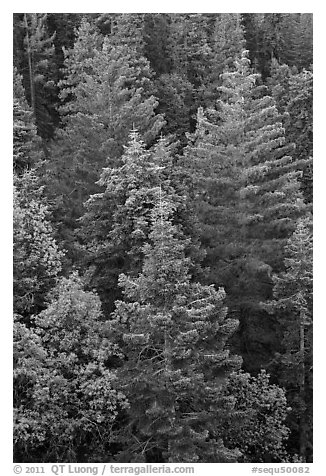 Pine forest canopy. Sequoia National Park (black and white)