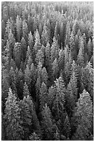 Evergreen forest from above. Sequoia National Park, California, USA. (black and white)