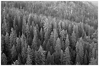 Evergreen forest seen from Moro Rock. Sequoia National Park ( black and white)