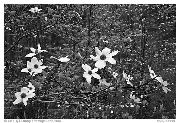 Dogwood flowers. Sequoia National Park (black and white)