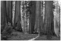 Group of backlit sequoias, early morning. Sequoia National Park, California, USA. (black and white)